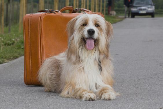 Liegender Hund neben Koffer