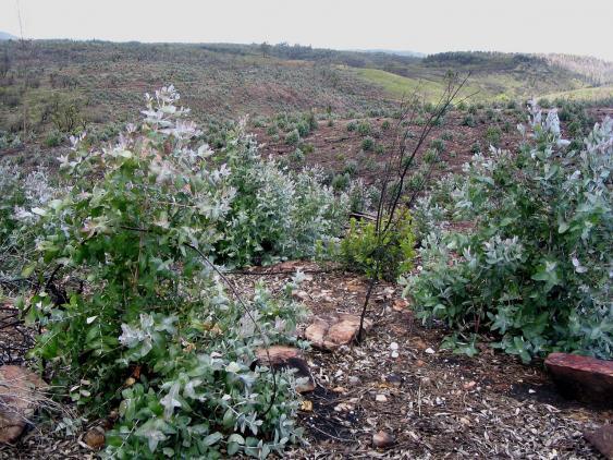Eucalyptus globulus in Portugal, zwei Jahre nach einem Brand