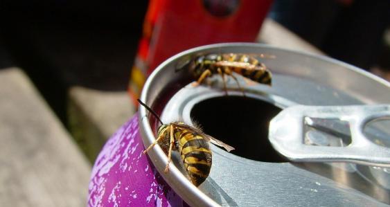 Wespen auf Getränkedose