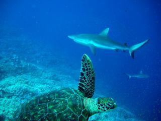 Hai und Meeresschildkröte
