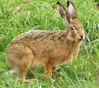 Gerade junge Feldhasen sind im Frühling gefährdet.