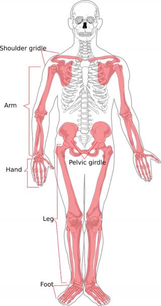 Menschliches Skelett (Zeichnung)