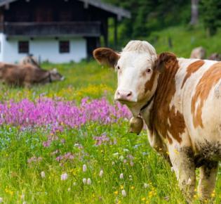 Weidende Kuh vor Almhütte