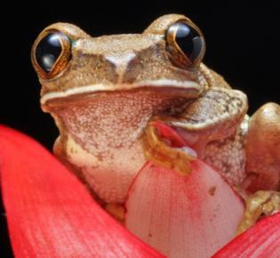 Marbled reed frog (Hyperolius marmoratus)