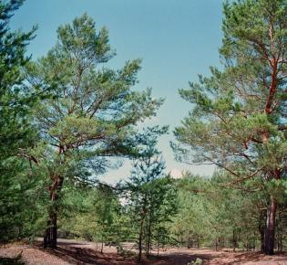 Waldkiefern (Pinus sylvestris)
