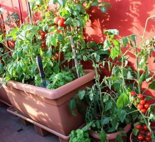 Balkongarten mit Tomatenpflanzen