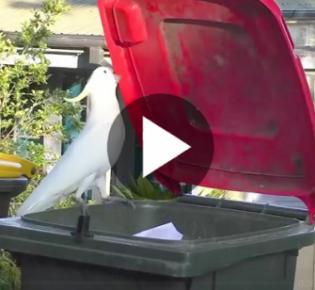 Gelbhaubenkakadu beim Öffnen einer Müllltonne, Sydney, Australien