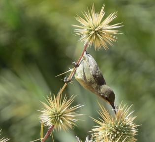 Ein Nektarvogel saugt Blütensaft aus einer Distel