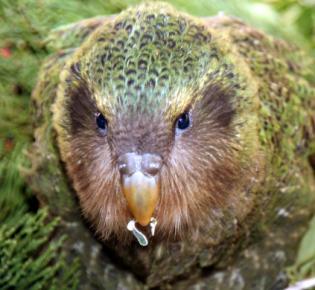 Junger Kakapo (Strigops habroptila)