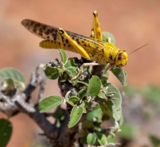Wüstenheuschrecke (Schistocerca gregaria)