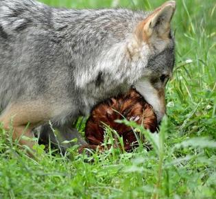 Fressender Wolf