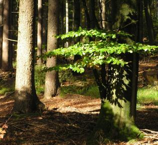 Buchen gehörten einst zu den dominierenden Baumarten in Mitteleuropa