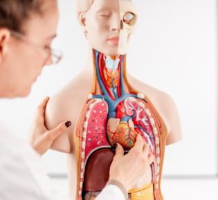 Ärztin mit anatomischem Modell