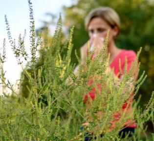 Beifuß-Ambrosie in Blüte