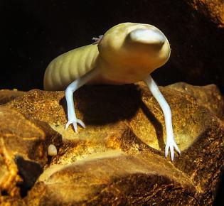Grottenolm (Proteus anguinus)