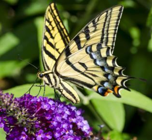 Vielgeschwänzter Schwalbenschwanz (Papillio multicaudata)