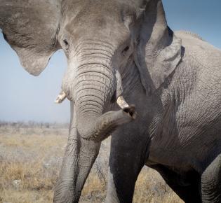 Drohender Elefantenbulle im Etosha National Park, Namibia