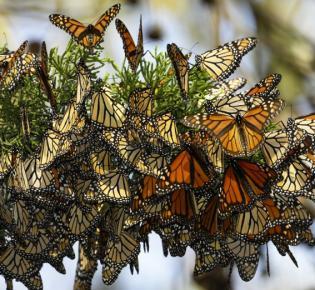 Monarchfalter-Cluster in einem Baum