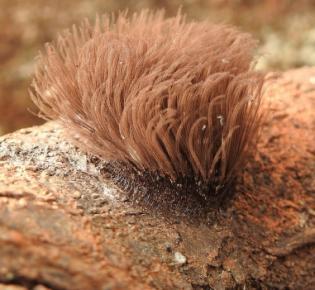 Sporokarp des Schleimpilzes Stemonitis fusca