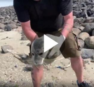 Seehundjäger beim Einfangen eines Heulers
