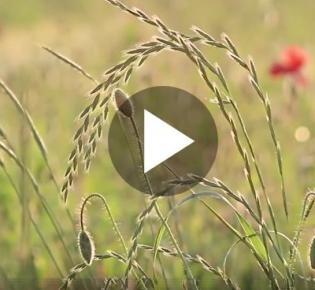 Wiese mit blühenden Gräsern