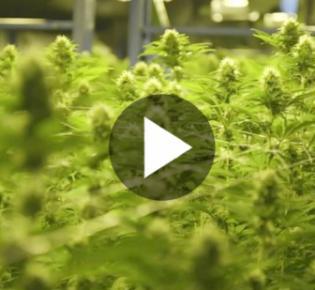 Hanfanbau für Canabisproduktion