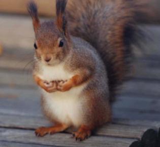 Europäisches Eichhörnchen ( Sciurus vulgaris)