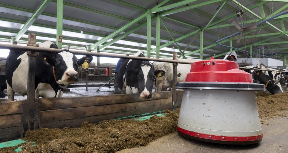 Futterschiebe-Roboter in einem Kuhstall