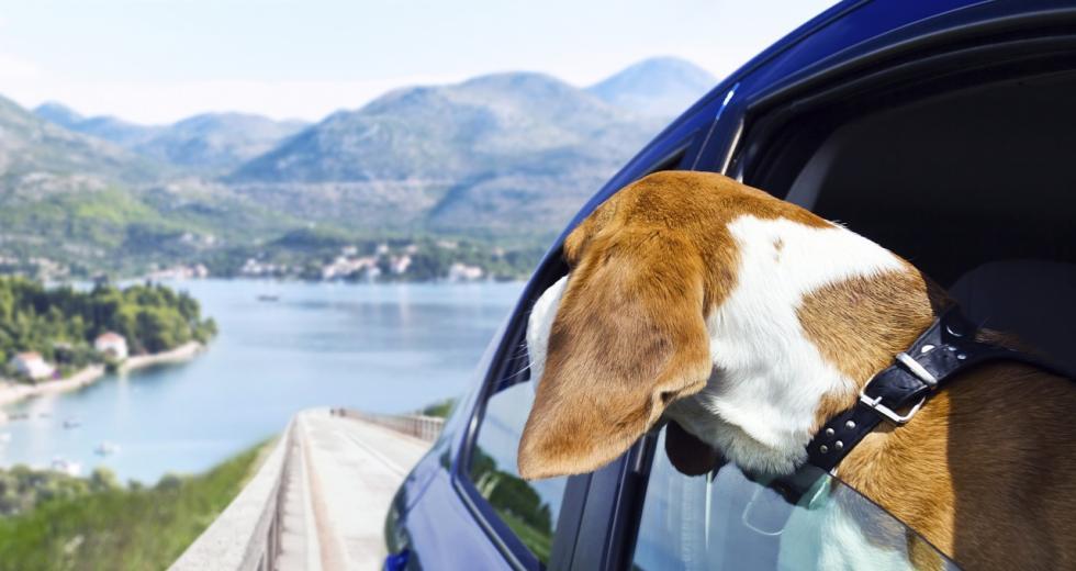 Hund schaut während der Fahrt aus dem Autofenster