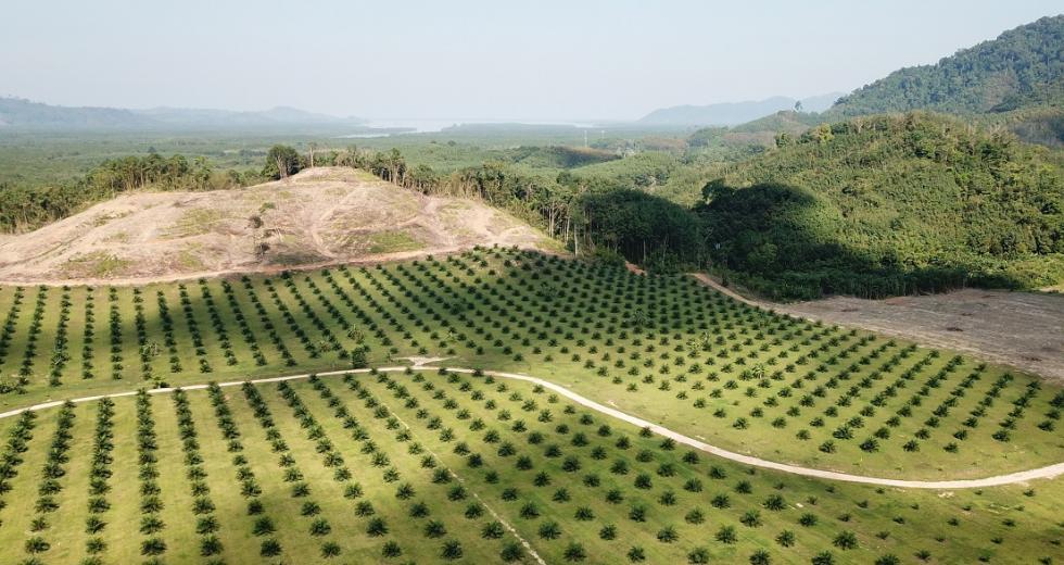 Neuangelegte Palmölplantage auf Sumatra