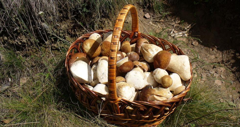 Korb mit gesammelten Steinpilzen