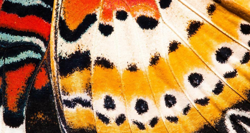 Fügeltextur eines Leoparden-Netzflüglers (Cethosia cyane)