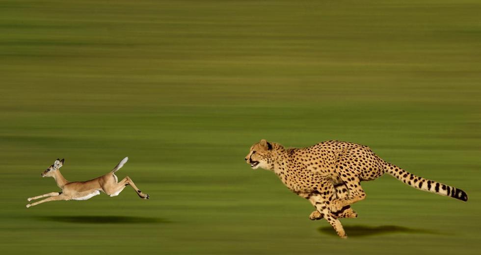 Gepard rennt einer Thomson-Gazelle hinterher