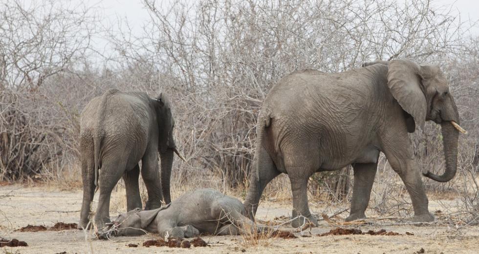 Zwei ausgewachsene Elefanten neben einem toten Kalb