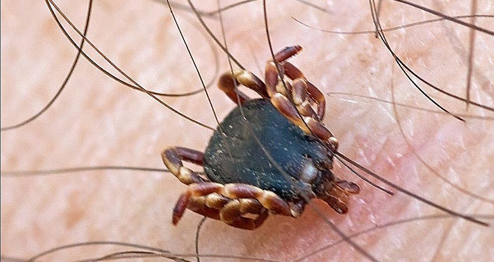 Tropenzecke Hyalomma marginatum