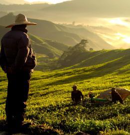 Teeplantage im Morgenlicht