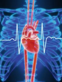Menschliches Herz - Illustration
