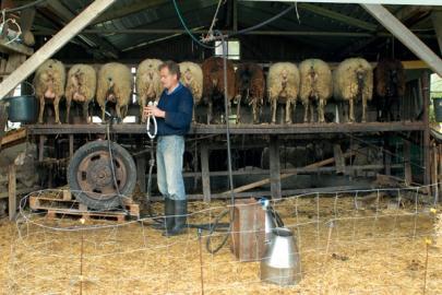 Vorbereitungen zum Melken