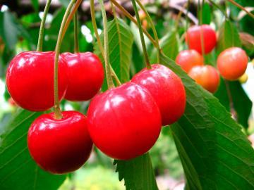 Rote Kirschen am Baum