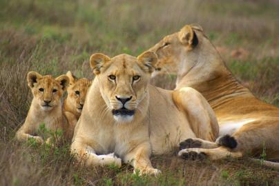 Löwenrudel in der Savanne
