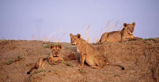 Löwen im Mana Pools Nationalpark