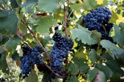Nutzpflanze, Weintraube, Rankenpflanze, Reif, Blatt, Frankreich, Botanik,  Weinb
