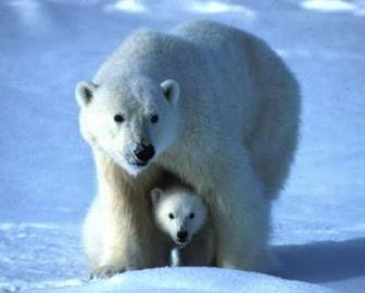 Eisbärin mit Jungem