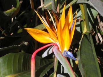 Hawaii, Bird of Paradise
