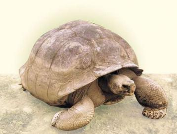 Riesenschidkröte