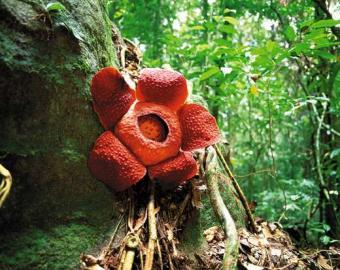 Groß wie ein Wagenrad: die Rafflesia.