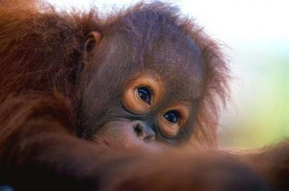 """Kleiner """"Waldmensch"""": ein Orang-Utan-Baby."""