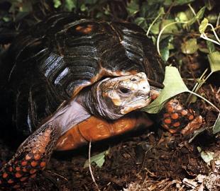 Waldschildkröte (südamerikanische)
