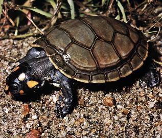 Terekay-Schildkröte