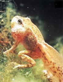 Kaulquappe eines Froschs: Die Umwandlung setzt ein